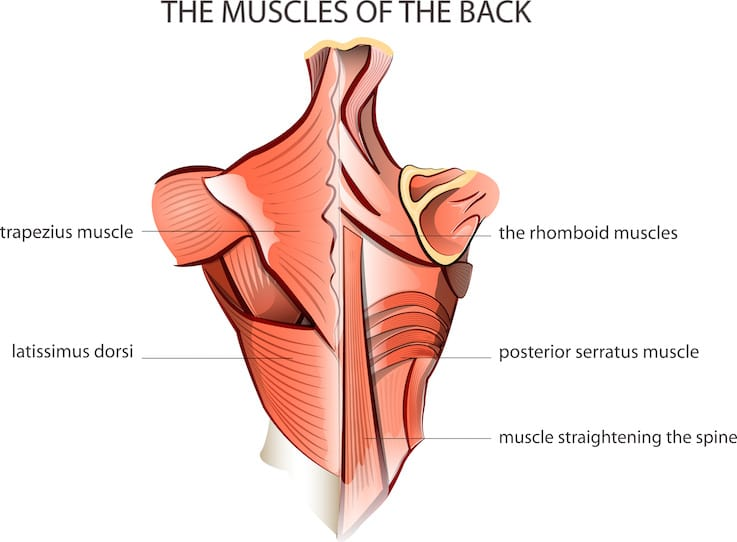 There Are A Lot Of Large Muscle Groups In Your Back The Tzius Is Located Upper Forming Diamond Shape Between Shoulderid