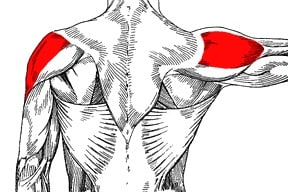Lateral deltoid (side deltoid)