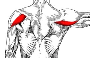 Posterior deltoid (rear deltoid)