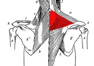 Middle trapezius