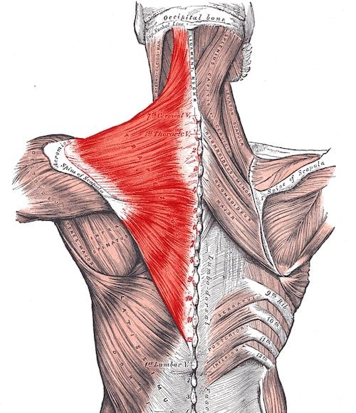 The Trapezius Muscle Explained For Maximum Shoulder Results